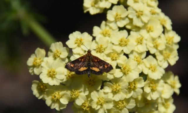 Mint moth S.jpg